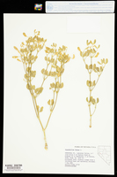 Zygophyllum fabago image