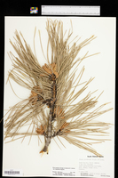 Pinus ponderosa var. scopulorum image