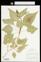 Populus hinckleyana image
