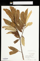 Castanea ozarkensis image