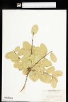 Quercus agrifolia image