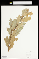Quercus havardii image