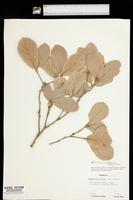 Quercus rugosa image