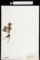 Pedicularis oederi image
