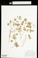Mabrya acerifolia image