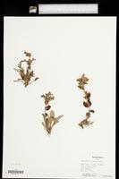 Penstemon albidus image