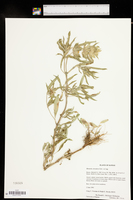 Monarda citriodora var. citriodora image