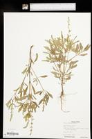 Salvia reflexa image
