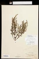 Scutellaria parvula var. leonardii image