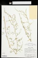 Chenopodium cycloides image