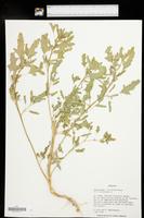 Chenopodium ficifolium image