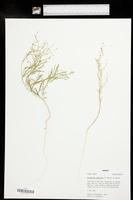 Chenopodium subglabrum image