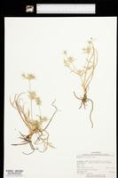 Image of Eryngium castrense