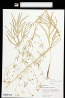 Falcaria vulgaris image