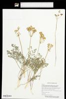 Lomatium foeniculaceum var. daucifolium image