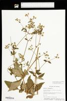 Sanicula canadensis var. canadensis image