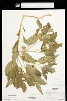 Physalis longifolia var. longifolia image