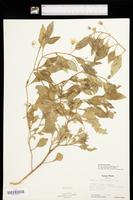 Physalis pumila image