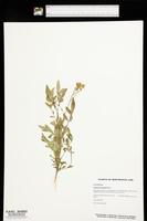 Solanum jamesii image