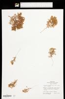 Chorizanthe corrugata image