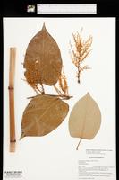 Reynoutria × bohemica image