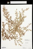 Polygonum aviculare subsp. buxiforme image