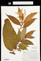 Persicaria wallichii var. wallichii image