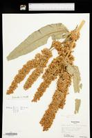 Rumex cristatus image