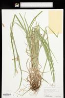 Carex davisii image