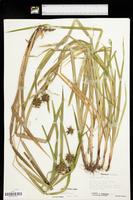 Carex grayi image