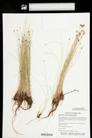 Eleocharis montevidensis image
