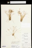Cyperus aristulatus image