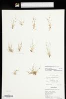 Lipocarpha drummondii image