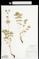 Drymocallis campanulata image