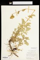 Drymocallis convallaria image