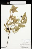 Prunus munsoniana image