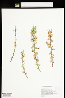 Prunus andersonii image