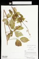 Rubus meracus image