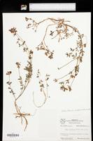 Lotus tenuis image