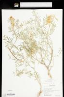 Astragalus racemosus image