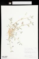 Astragalus nyensis image
