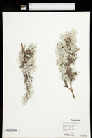 Astragalus sericoleucus image