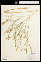 Dalea enneandra image