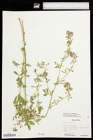 Medicago sativa subsp. sativa image