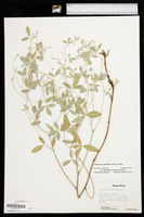 Pediomelum argophyllum image