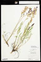 Oxytropis lambertii image
