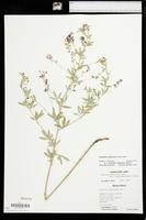 Pediomelum tenuiflorum image