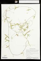 Strophostyles leiosperma image