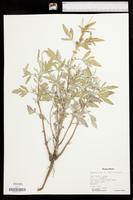 Ambrosia grayi image
