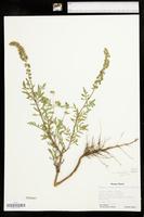 Ambrosia helenae image